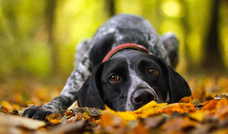 осень, собака, друг, zhivotnye,