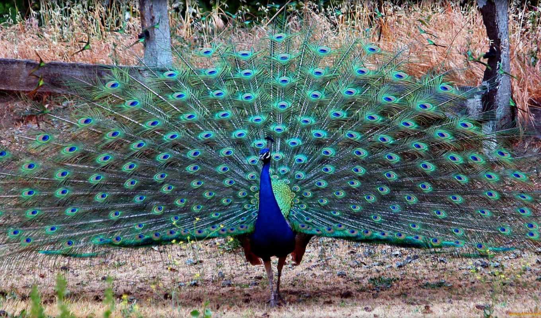peacock, павлины,