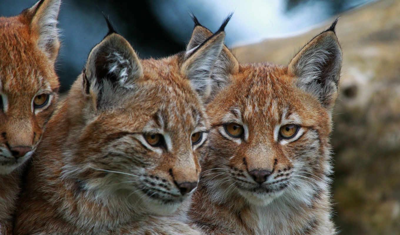 кошки, большие, рысь, морда, глаза, eyes, glaza, высокого, качества, рыси,
