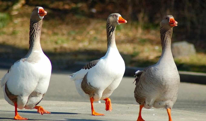 гуси, гусей, гусь, домашние, птиц, домашних, птица, серый, дикий,