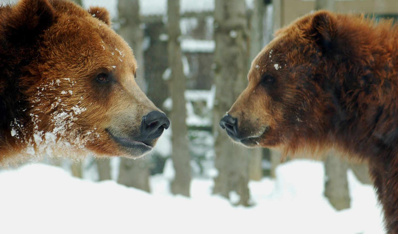 медведи, animals, животные, bears, медведь, качественные, play, предпросмотром, браун, цены,