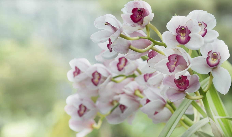 орхидеи, цветы, розовые,