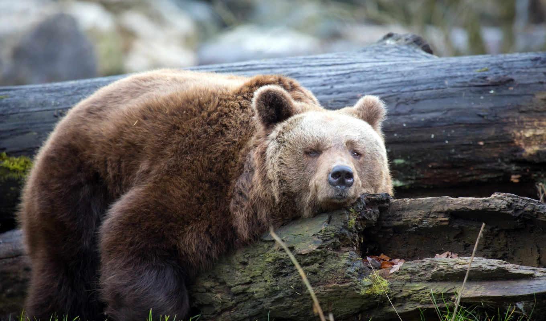 медведь, сеанс, спать, медведей, formatı, align, браун, брёвна, log, left,