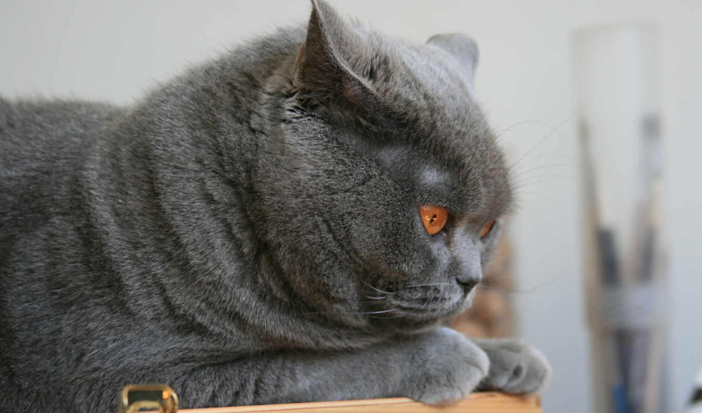 british, кот, британец, разных, кота, лежит,
