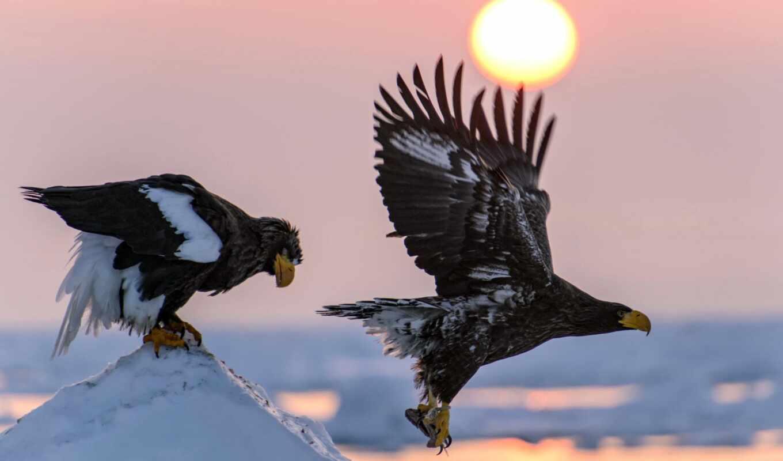 орлан, птица