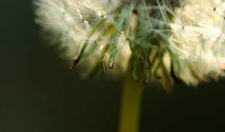 зелень, пух, одуванчик, растение, смотрите,