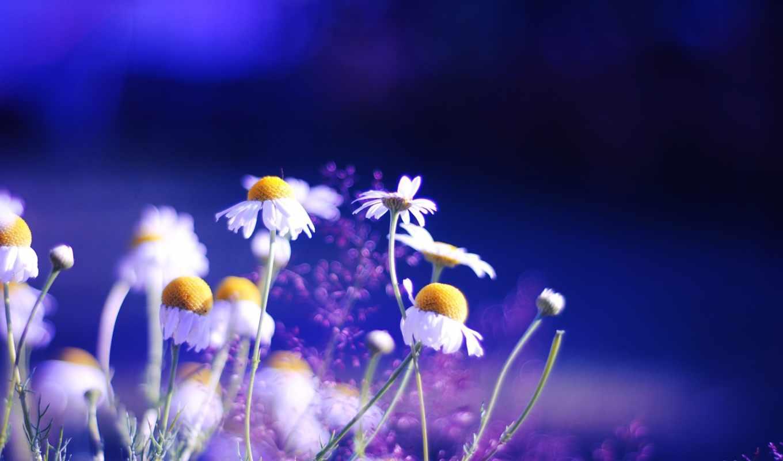 яркие, цветы, ромашки, растения,