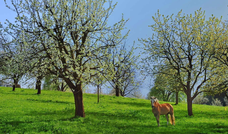 kwitnące, картинку, drzewa, грустный, подборка, owocowe, красивых,