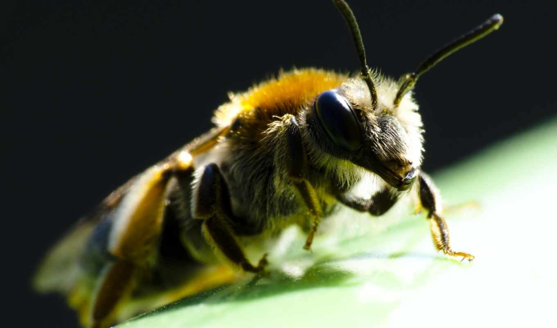 макро, animaux, fonds, ecran, abeille, les, abeilles,