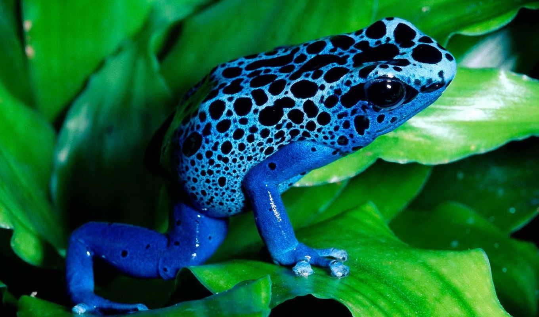 blue, лягушка, лист, лягуха, синяя, том, лягушки, ядовитая, яркие,