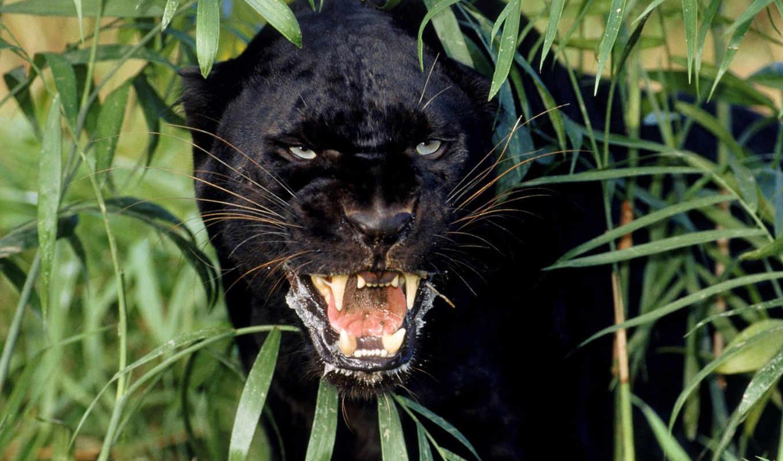 пантера, кусты, клыки, картинка, картинку, panther, black, животные,