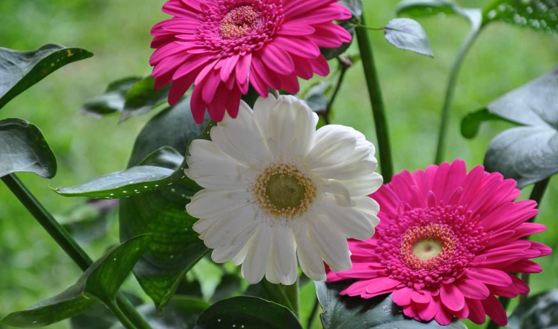 герберы, розовые цветы,