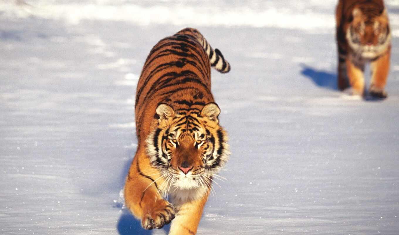 тигр, тигры, снегу, тигра, running, два, бегущие,