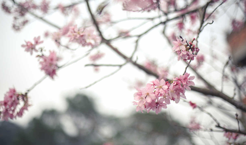 Сакура, цветы, цветение, branch, весна, дерево, картинка,
