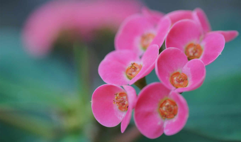 соцветие, розовый, каланхое, цветок, фото,