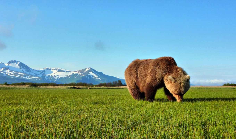медведь, браун,
