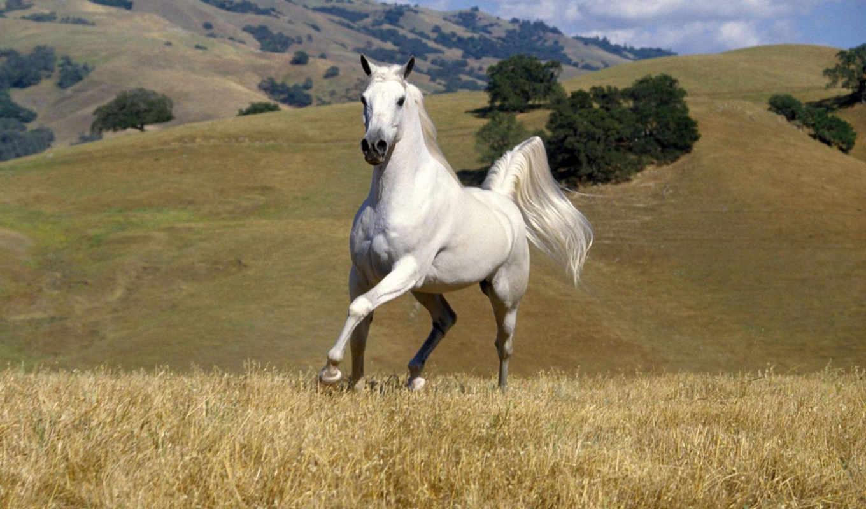 лошадь, white, кони,