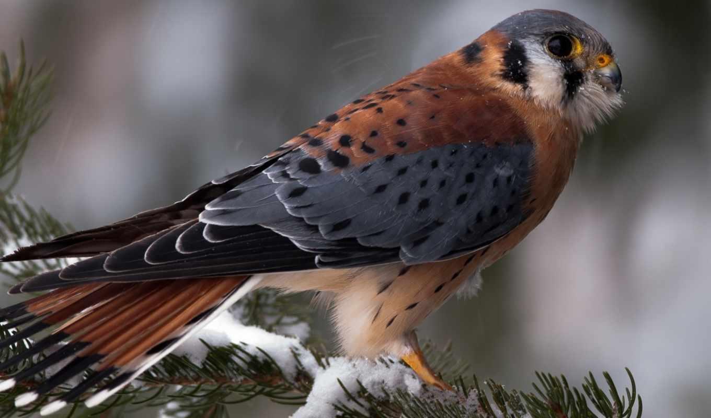 перепелятник, птица, птицы, winter, снег, зимой, branch, кречет, соколиные, обитания, балабан,