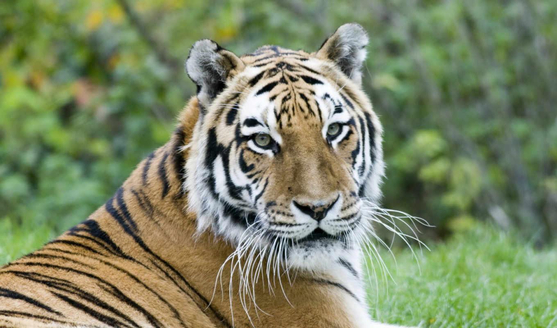 тигры, комментарий, пароль, land, оставить, возможность, балла, чтобы, полоски, морда, тигр, flamingo,