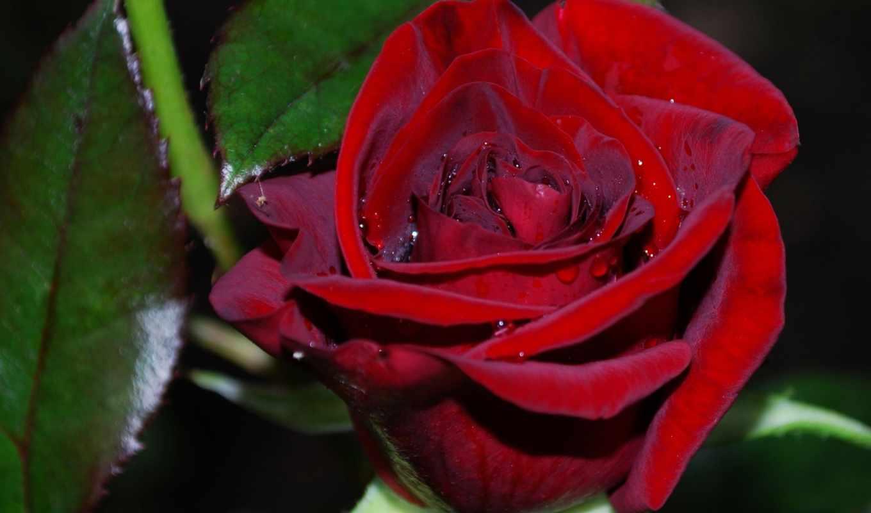 красивых, подборка, девушек, reuploaded, дек, роза, тона, con, rojo,