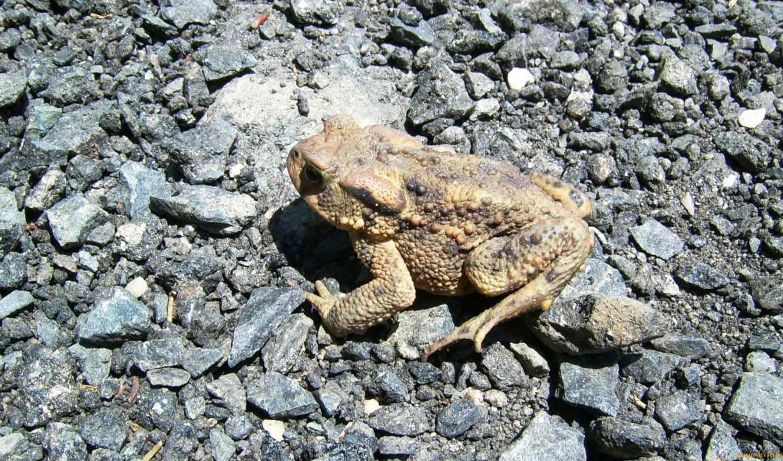 toad, boreal, борей,