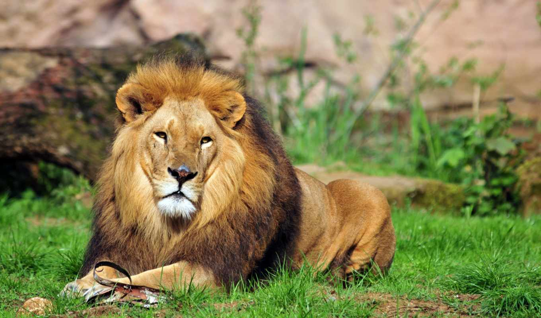 фото, von, bilder, lion, gras, картины, цена, рублей,