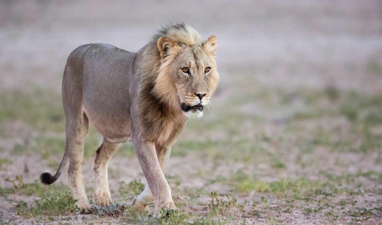 ,лев,природа,животные,