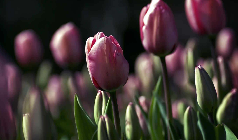тюльпаны, цветы, макро,