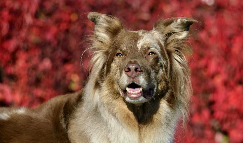 овчарка, собак, зооклубе, собака, собаки, австралийская, породы, длинношерстная,