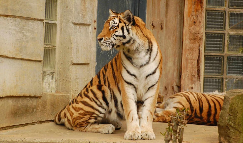 тигр, хищник, красавец, картинка, animals, animal, wild, кот, картинку, tigers, desktop, горизонтали, имеет,