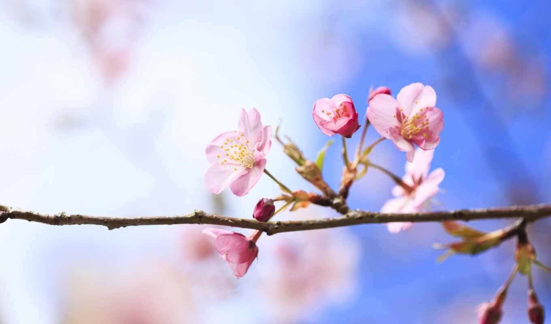 весна, вишня, ветка, дерево,