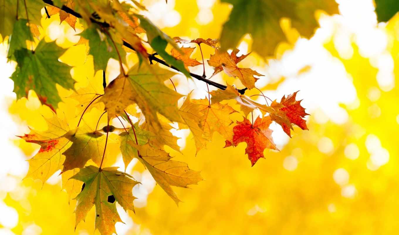 листья, осень, желтые, ветка, дерево, природа, клен,