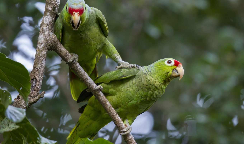 птицы, животные, ветки, разделе, пара, branch, попугай, янв,
