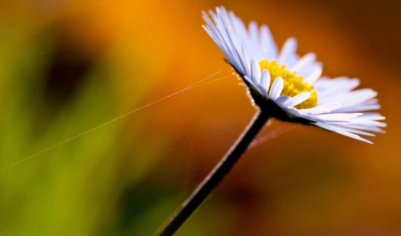 ,цветок,ромашка,листики,