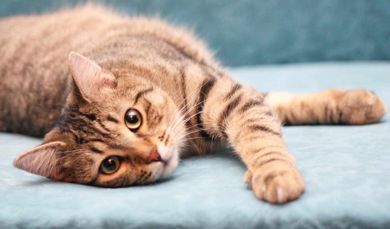 кот, лежит, коричневый