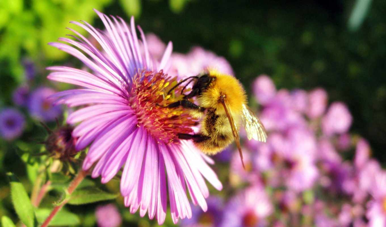 мед, пчелка, flowers, пчелы, resolution,