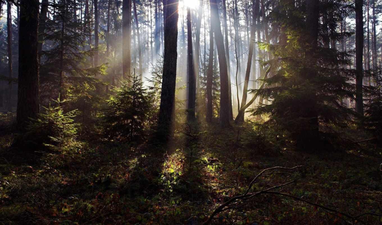 обои, лучи, солнце, лес, деревья, сосны, трава, ли