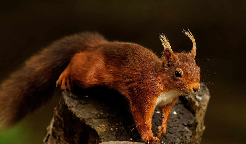 squirrel, desktop, stock, gallery,