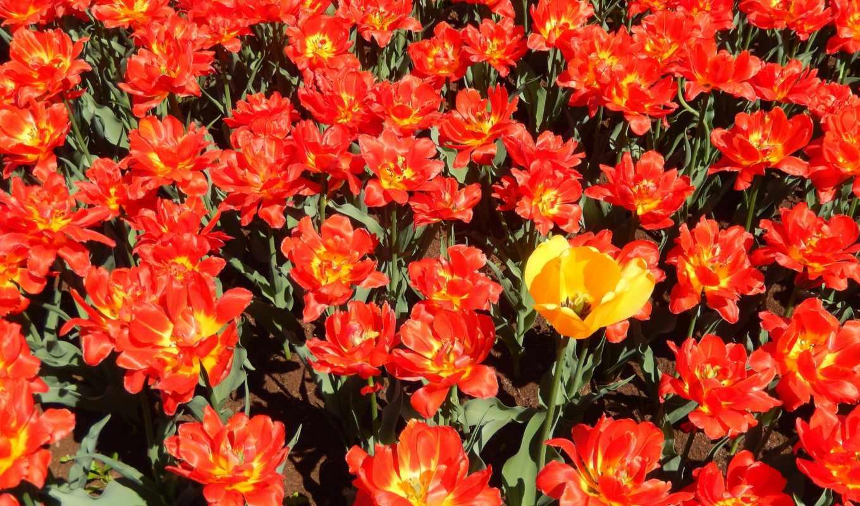 widescreen, flowers, тюльпан, tulips, тюльпаны, fullscreen,