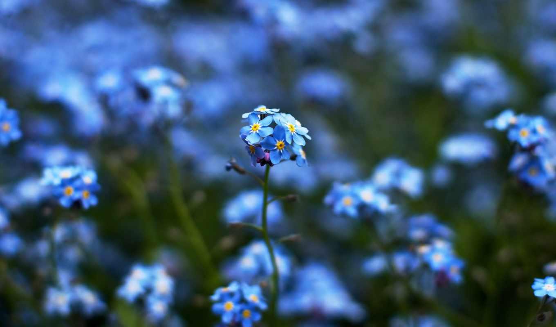 cvety, незабудка, trick, blue, язык, размытие, бок, коллекция