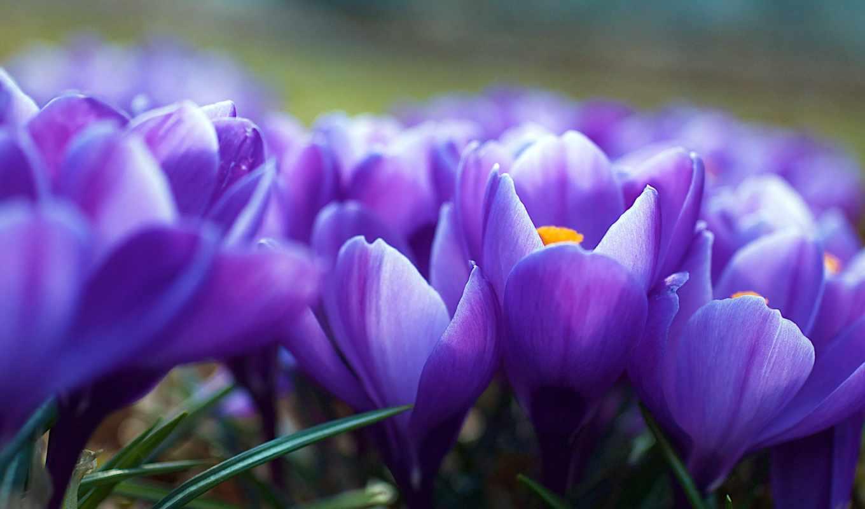 цветы, фиолетовые, свой, цитатник, целикомв, цитата, февр, community, информация, прочитать, весна,