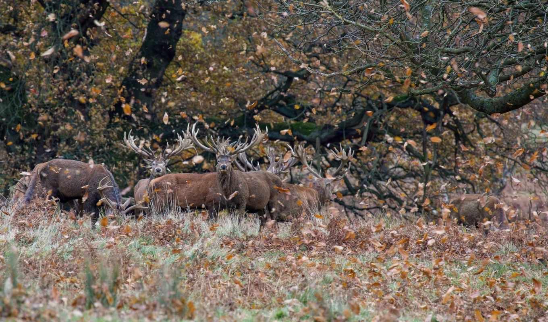 осень, листва, олени, black, animals, лань,