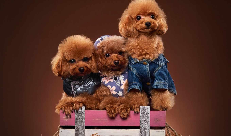 photos, flickr, трио, собаки, фотосессия, пудель, песики, box,