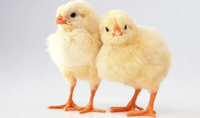 цыплята, бройлеры, цыплят, бройлеров, рублей, области, бройлер, кур, продолжительность, views,