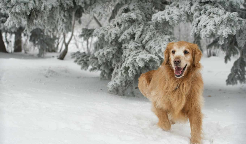 retriever, золотистый, puppies,