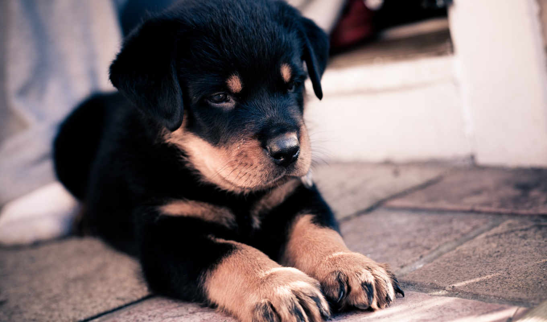 щенок, обои, собака, ротвейлера, фото, овчарка, вз