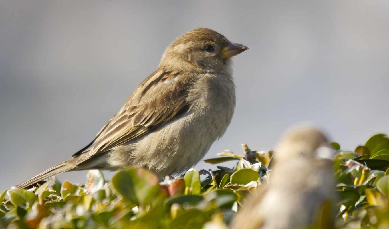 birds, воробей, branch, wings,