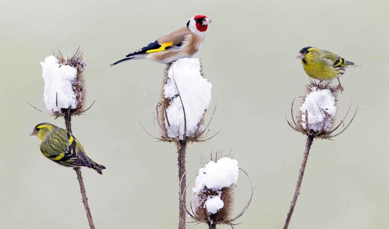 птица, und, distel, erlenzeisige, hintergrundbild, winter, den, futtersuche, ein, winterlichen, fly