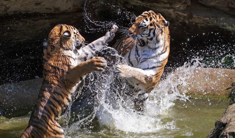 тигры, кошки, тигра, шерсть, два, дерутся, roza,