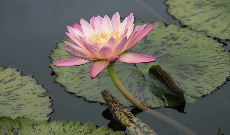 lily, water, листья, нимфея, цветочная, часть, красавица,